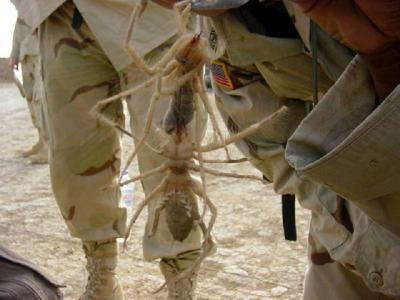 large_camel_spider